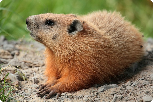How much wood could a woodchuck chuck   SkySeaTree